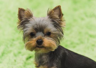 Yorkshire Terrier puppy dog portrait on green background.