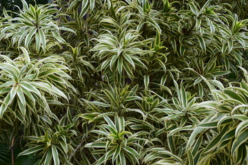 Close up of variegated tropical plant, filling entire frame.