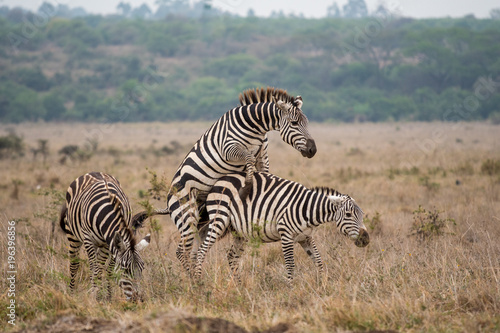 Zebras Mating Stock Photo And Royalty Free Images On Fotoliacom