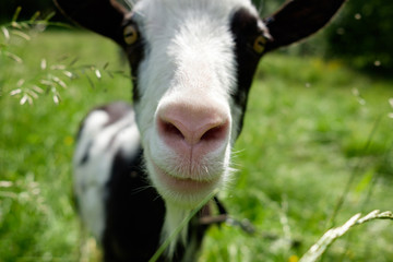 goat snoot in summer close up
