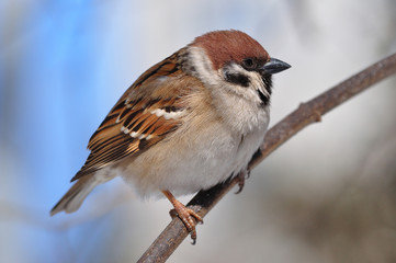 Eurasian tree sparrow sitting sideways on a thin branch very close.