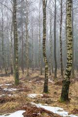 Keuken foto achterwand Bos in mist Trädstammar i en björkskog på vintern