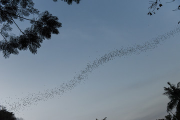 Bats flying in a row at mount Phnom Sempeau, Cambodia