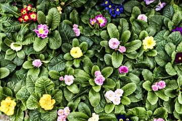 colorful primrose flowers on a background of green leaves