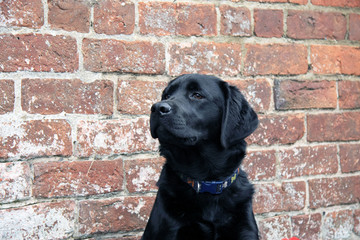 Black Labrador Dog portrait close up