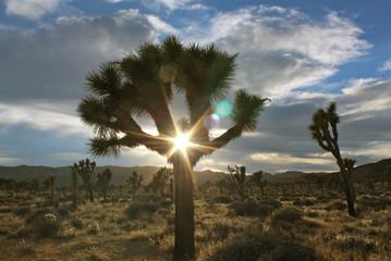 Sun Flare Through Joshua Tree at Joshua Tree National Park, California
