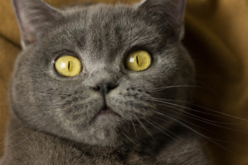 Gray British cat lying on his back