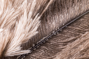 Super macro of ostrich feathers