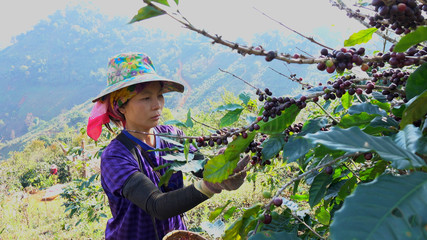 Women picking coffee