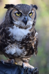 Great horned owl close up.