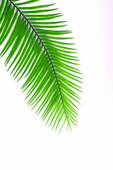 Palm leaf isolated on white background.