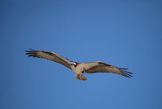 Osprey bird of prey Pandion haliaetus flying