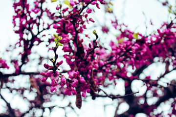 Flowers. A tree with blooming pink flowers. Spring.