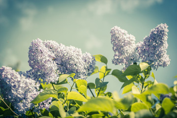 Lilac flowers, branches in vintage, romantic style.