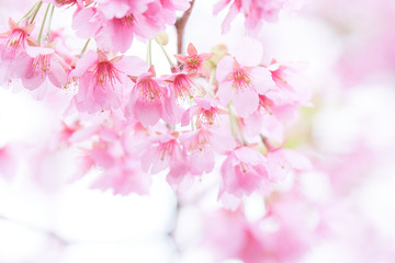 Pink cherry blossom(Cherry blossom, Japanese flowering cherry) on the Sakura tree. Sakura flowers are representative of Japanese flowers. The main part of the winter pass. I love everyone.
