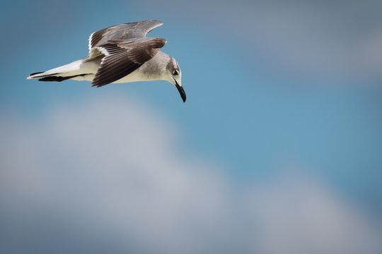 Flying Laughing Gull  - Larus atricilla