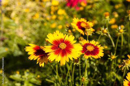 Blanket flower yellow daisy with red center called gaillardia blanket flower yellow daisy with red center called gaillardia pulchella mightylinksfo