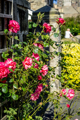 Beautiful, red roses decorating outside of the house