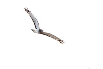 Northern Harrier hunting over the Steigerwald National Wildlife Refuge.