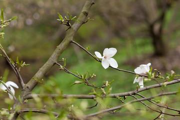 Amazing purple magnolia flowers in the spring season on the magnolia tree