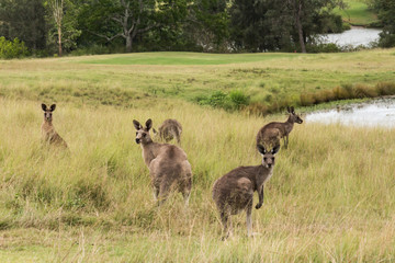 Group of Australian kangaroos in grass field next to lake
