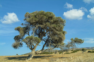A beautiful old olive tree in the Akamas region of Cyprus