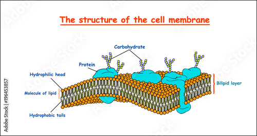 Cell membrane structure on white background isolated education cell membrane structure on white background isolated education vector illustration ccuart Images