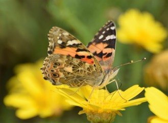 Summer butterfly Cyprus