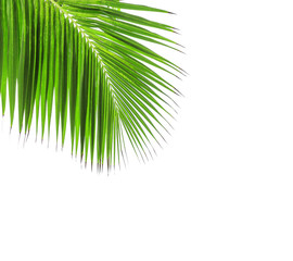 Green leaf of coconut palm tree
