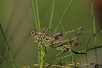 criquet insecte orthoptère