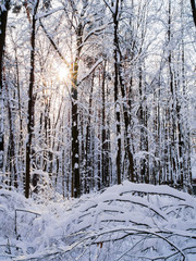 Photo of snowy trees with shining sun in forest