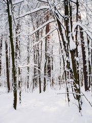 Picturesque photo of winter trees in woods
