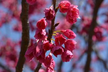 花 flower 梅 日本