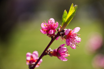 blossoming peach branch at spring