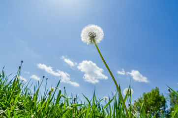 white dandelion after flowering in green grass