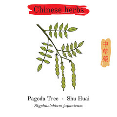Medicinal herbs of China. Japanese pagoda tree