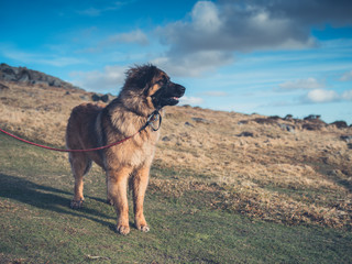 Big dog standing on the moor