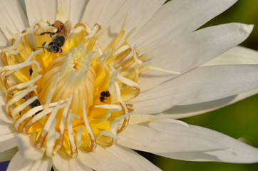 A bee is trying to keep nectar pollen from the lotus flower,select focus.
