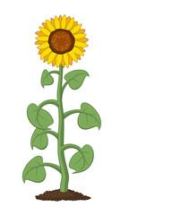 vector  garden sunflower grow in soil