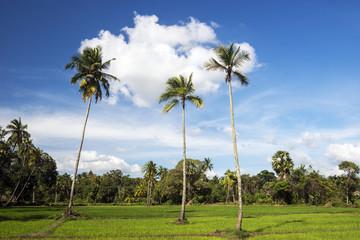 Paddy field, Avukana, North Central Province, Sri Lanka