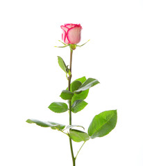 Beautiful pink rose on a stem with leaves on a white background.
