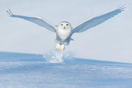 Snowy owl flying over snowy landscape