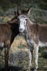 Two donkeys standing in a field, Strait Natural Park, Tarifa, Cadiz, Andalucia, Spain