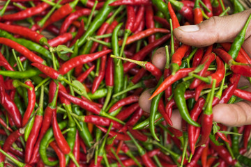 Hand is holding red chili. Chili peppers like Thai people.