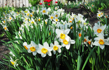 Photo sur Plexiglas Narcisse White spring narcissus flowers. Narcissus flower also known as daffodil, daffadowndilly, narcissus, and jonquil.