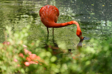 Red flamingo from south America