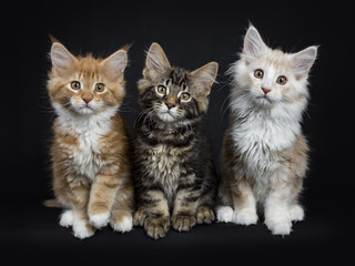 Row of three maine coon cats / kittens sitting  looking at camera  isolated on black background