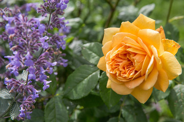 Blooming yellow rose in the garden on a sunny day. David Austin Rose Golden Celebration 'AUShunter'.