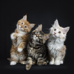 Row of three maine coon cats / kittens sitting  looking up  isolated on black background