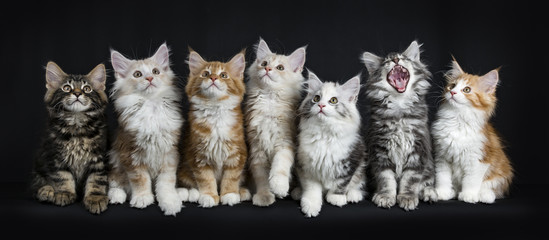 Row of seven maine coon cats / kittens sitting / laying down looking up and one yawning / screaming isolated on black background